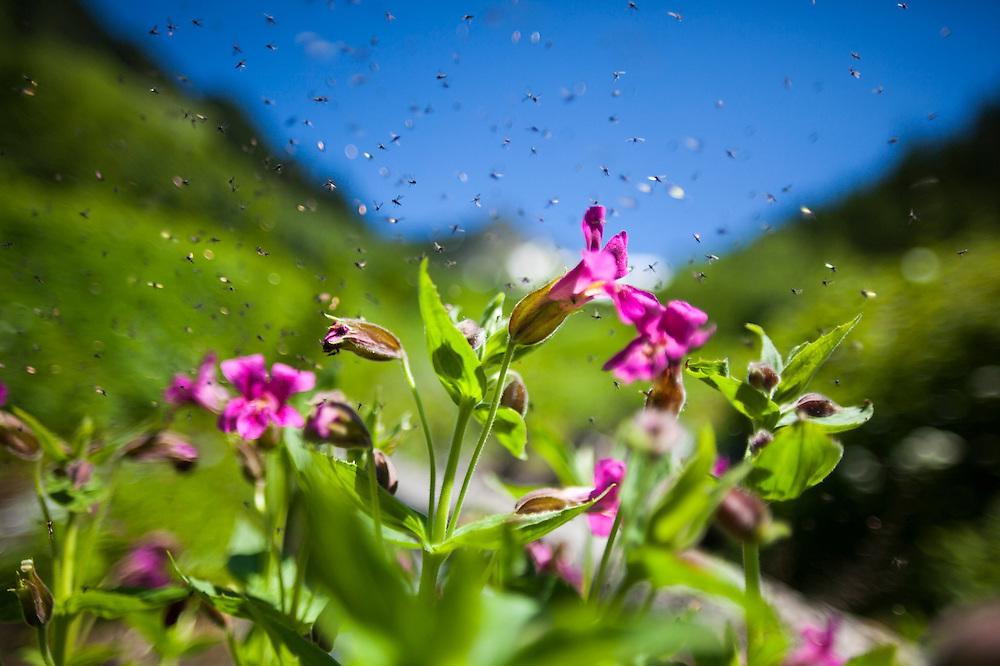 Black flies swarm flowers on the Hidden Lake Trail, Mount Baker-Snoqualmie National Forest, Washington.