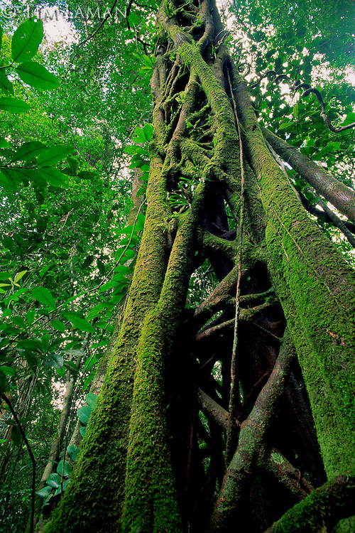 Strangler Fig (Ficus sp.) that has killed its host tree long ago.  The host has rotted away, leaving a hollow center.  Lowland rain forest in Borneo.  Gunung Palung National Park, Indonesia.