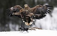 White-tailed sea eagle (Haliaeetus albicilla/ossifraga) and Crow (Corvus corone cornix), Flatanger, Norway..