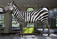 Zebra on display at the Natural History Museum of Los Angeles County