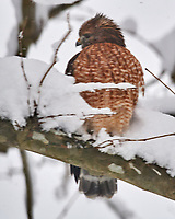Red-shouldered Hawk (Buteo lineatus). Image taken with a Nikon D5 camera and 600 mm f/4 VR lens.