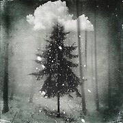fir in mist and snow - surreal photo manipulation<br /> Redbubble prints & more--> http://bit.ly/Chosen_RB