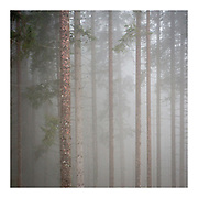 Pattern image.  Parallel pine tree trunks in forest in atmospheric, misty conditions