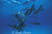 Atlantic spotted dolphins, Stenella frontalis, aggressive social interaction, Little Bahama Bank, Bahamas ( Western Atlantic Ocean )
