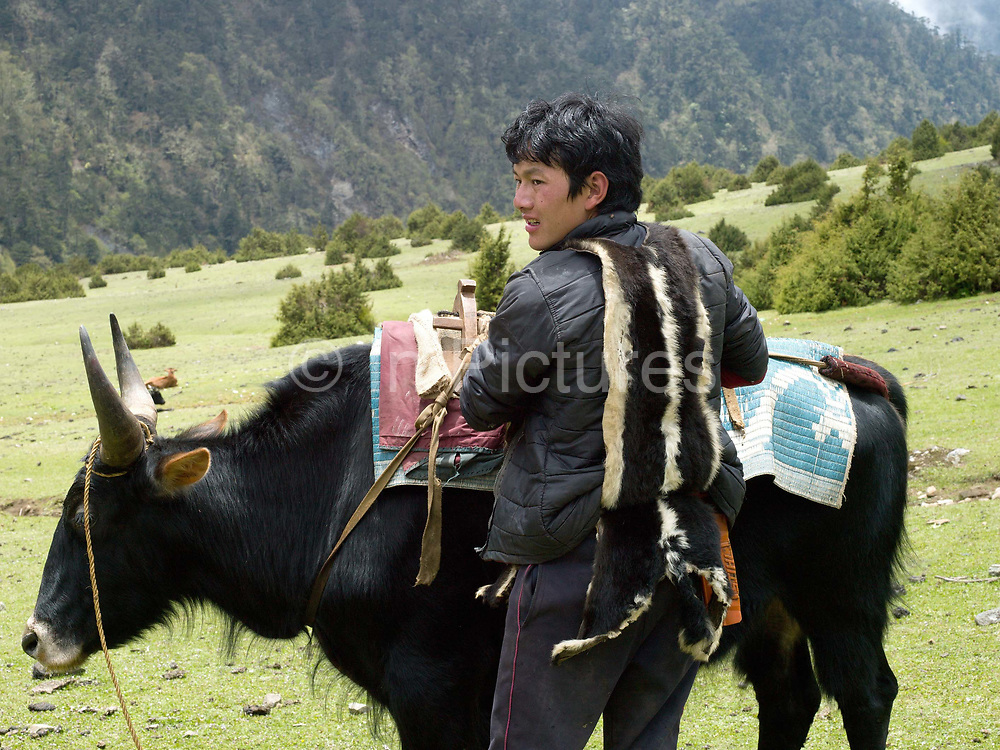 A Brokpa man prepares to migrate to the summer pastures with his 'zhomo' (male yak and female cow cross), Merak, Eastern Bhutan. The Brokpa, the semi-nomads of the villages of Merak and Sakteng are said to have migrated to Bhutan a few centuries ago from the Tshona region of Southern Tibet. Thriving on rearing yaks and sheep, the Brokpas have maintained many of their unique traditions and customs.