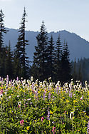 Western Anemone seedheads and other wildflowers near Tipsoo Lake at Mount Rainier National Park in Washington State, USA
