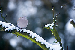 Collared dove on a snow covered branch, Leicester, Leicestershire, England, UK.