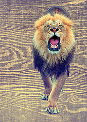 The lion is one of the four big cats in the genus Panthera and a member of the family Felidae. With some males exceeding 250 kg in weight, it is the second-largest living cat after the tiger.<br />