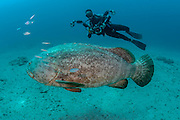 Scuba diver and Goliath Grouper, Epinephelus itajara, near the Mispah shipwreck offshore Singer Island, Florida, United States.