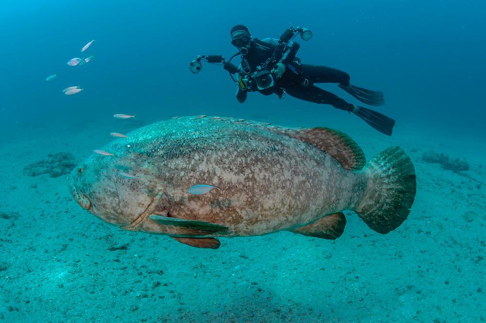 Scuba diver and Goliath Grouper, Epinephelus itajara, near the Mispah shipwreck offshore Singer Island, Florida, United States.