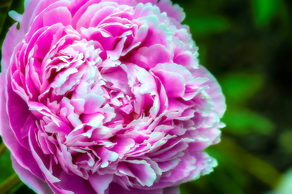 A Soft Pink Peony From The Neighbors Garden