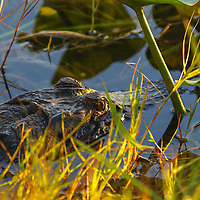 Southeast Florida wildlife photography from nature photographer Juergen Roth showing an alligator at Arthur R. Marshall Loxahatchee National Wildlife Refuge in Palm Beach County, FL.  <br /> <br /> Florida alligator wildlife photos from the Arthur R. Marshall Loxahatchee National Wildlife Refuge are available as museum quality photo prints, canvas prints, wood prints, acrylic prints or metal prints. Fine art prints may be framed and matted to the individual liking and decorating needs:<br /> <br /> https://juergen-roth.pixels.com/featured/alligator-juergen-roth.html<br /> <br /> All digital nature photography images are available for photo image licensing at www.RothGalleries.com. Please contact me direct with any questions or request.<br /> <br /> Good light and happy photo making!<br /> <br /> My best,<br /> <br /> Juergen<br /> Prints & Licensing: http://www.rothgalleries.com<br /> Instagram: https://www.instagram.com/rothgalleries<br /> Twitter: https://twitter.com/naturefineart<br /> Facebook: https://www.facebook.com/naturefineart