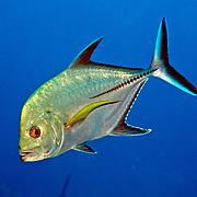 Black Jack inhabit open water in Tropical West Atlantic, also circumtropical; picture taken San Salvador, Bahamas.
