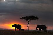 African elephants, Loxodonta africana, walking at sunset.