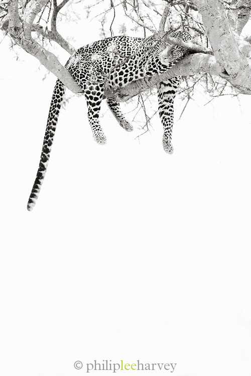 A leopard sleeps on the branch of a tree in the Maasai Mara National Reserve, Kenya