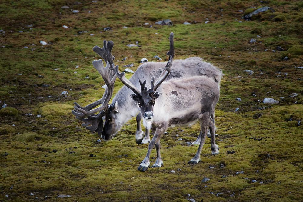 Svalbard reindeer at Prins Karls Forland, Spitsbergen