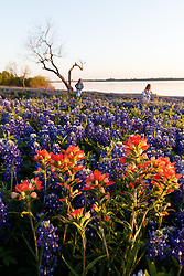 Children playing in field of Indian paintbrush (Castilleja indivisa) and bluebonnets (Lupinus texensis) near Lake Bardwell, Ennis, Texas USA.