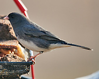 Dark-eyed Junco (Junco hyemalis). Image taken with a Nikon D800 camera and 600 mm f/4 VR lens.