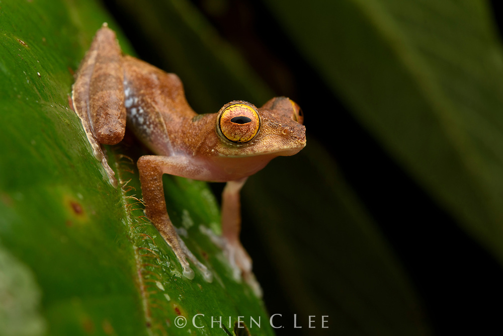 Belalong Tree Frog (Leptomantis belalongensis), male. Only recently described, this tiny arboreal frog is endemic to just a few river basins in northwestern Borneo. Ulu Temburong National Park, Brunei (Borneo).