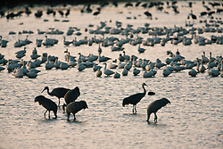 Sandhill crane (Grus canadensis) and snow geese (Chen caerulescens) at Bosque del Apache National Wildlife Refuge, New Mexico, USA