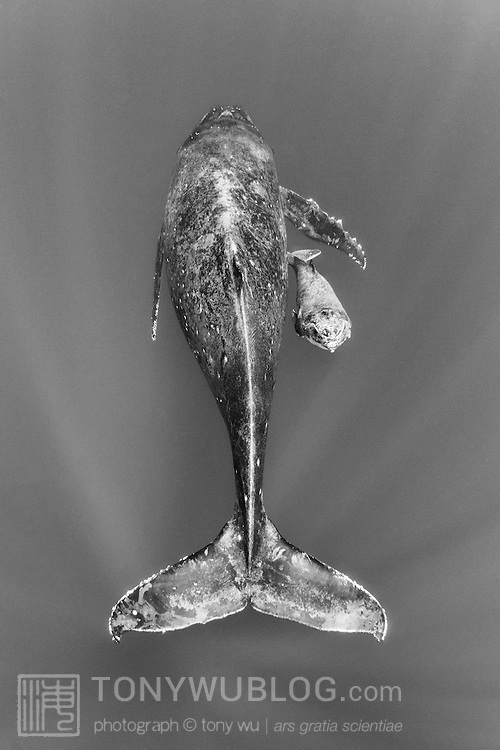 Male humpback whale calf (Megaptera novaeangliae) emerging from beneath the protective cover of his mother's pectoral fin, just before surfacing to breathe.