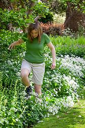 Trampling on unwanted wild garlic - Allium ursinum - in a border before spraying with weed killer.