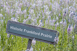 Wild blue hyacinths ((camassia scilloides) and signage on Blackland Prairie remnant at Frankford Church and Cemetery, Dallas, Texas.