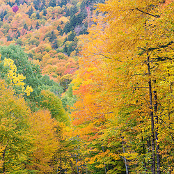 A forest in fall in Wentworths Location, New Hampshire. Northern Forest.