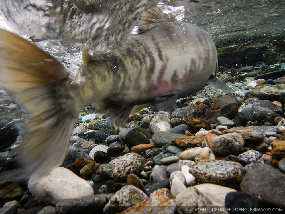 A chum salmon (Oncorhynchus keta) powers its way up the special spawning channel of Herman Creek to spawn during the fall chum salmon run. The nonprofit Northern Southeast Regional Aquaculture Association, Inc. (NSRAA) built the channel to collect wild broodstock by harvesting spawning female and male salmon for their eggs and milt. <br /> <br /> The chum salmon is returning to freshwater Herman Creek near Haines, Alaska after three to five years in the saltwater ocean. Spawning only once, chum salmon die approximately two weeks after they spawn. Both sexes of adult chum salmon change colors and appearance upon returning to freshwater. Unlike male sockeye salmon which turn bright red for spawning, male chum salmon change color to an olive green with purple and green vertical stripes. These vertical stripes are not as noticeable in females, who also have a dark horizontal band. Both male and female chum salmon develop hooked snout (type) and large canine teeth. These features in female salmon are less pronounced. <br /> <br /> Herman Creek is a tributary of the Klehini River and is only 10 miles downstream of the area currently being explored as a potential site of a copper and zinc mine. The exploration is being conducted by Constantine Metal Resources Ltd. of Vancouver, British Columbia along with investment partner Dowa Metals & Mining Co., Ltd. of Japan. Some local residents and environmental groups are concerned that a mine might threaten the area's salmon. Of particular concern is copper and other heavy metals, found in mine waste, leaching into the Klehini River and the Chilkat River further downstream. Copper and heavy metals are toxic to salmon and bald eagles.<br /> <br /> Chilkat River and Klehini River chum salmon are the primary food source for one of the largest gatherings of bald eagles in the world. Each fall, bald eagles congregate in the Alaska Chilkat Bald Eagle Preserve, located only three miles downriver from the area of current exploration.