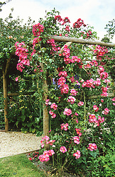 Rosa 'American Pillar' climbing over a wooden pergola.