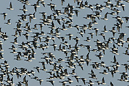 Brent Goose - Branta bernicla - pale-bellied race. L 56-61cm. Our smallest goose – similar size to Shelduck. Subtle plumage patterns allow separation of two subspecies that winter here: Pale-bellied Brent B.b.hrota (breeds on Svalbard and Greenland) and Dark-bellied Brent B.b.bernicla (breeds in Russia). Seen in sizeable and noisy flocks. In flight, looks dark except for white rear end. All birds have a black bill and black legs. Sexes are similar. Adult Pale-bellied has blackish head, neck and breast; side of neck has narrow band of white feathers. Note neat division between dark breast and pale grey-buff belly. Back is uniform dark brownish grey. Adult Dark-bellied is similar but belly is darker and flanks are paler. Juveniles are similar to respective adults but note pale feather margins on back and absence of white markings on side of neck; white on neck is acquired in New Year. Voice Very vocal, uttering a nasal krrrut. Status Winter visitor to coasts.
