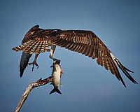Osprey with a Fish. Biolab Road, Merritt Island National Wildlife Refuge. Image taken with a Nikon D4 camera and 500 mm f/4 VR lens (ISO 360, 500 mm, f/8, 1/4000 sec).