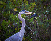 Great Blue Heron with a fish. Biolab Road, Merritt Island National Wildlife Refuge. Image taken with a Nikon D3s camera and 80-400 mm VR len (ISO 200, 400 mm, f/5.6, 1/80 sec).