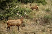 Bull elk watching cow elks