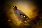 Picture of Mynah bird
