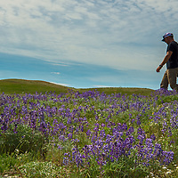 A hiker walks through Lupines grow on a hillside in the Upper Missouri River Breaks National Monument in central Montana.
