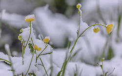 THEMENBILD - Neuschnee bedeckt zarte Frühlingsblumen auf einer Wiese, aufgenommen am 05. Mai 2019, Kaprun, Österreich // Fresh snow covers tender spring flowers on a meadow on 2019/05/05, Kaprun, Austria. EXPA Pictures © 2019, PhotoCredit: EXPA/ Stefanie Oberhauser