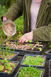 Pricking out seedlings of Geranium wallichianum 'Buxton's Blue'. Covering with grit