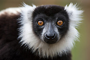 Black and white ruffed lemur (Varecia variegata)<br /> East Madagascar<br /> Mantadia National Park<br /> MADAGASCAR<br /> ENDEMIC<br /> Critically endangered