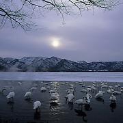 Whooper Swan (Cygnus cygnus) on Lake Kussharo in Japan.