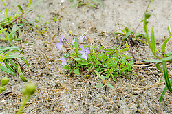 Duinviooltje, Viola curtisii
