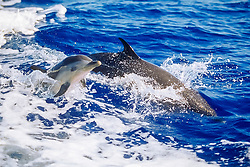 pantropical spotted dolphin, Stenella attenuata, mother and calf, jumping, wake-riding, Kona Coast, Big Island, Hawaii, USA, Pacific Ocean