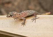 Timor Bent-toed Gecko, Cyrtodactylus sp.