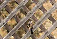 White-crowned Sparrow, Zonotrichia leucophrys, perches on a fence in Sacramento National Wildlife Refuge, California