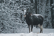 Elk (Alces alces) with snowy fur standing at forest edge in snowfall in late afternoon, Kemeri National Park (Ķemeru Nacionālais parks), Latvia Ⓒ Davis Ulands | davisulands.com