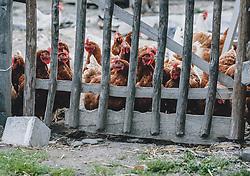 THEMENBILD - Hühner in einem Aussengehege hinter einem einfachen Holzzaun auf einem Biobauernhof, aufgenommen am 09. April 2020 in Piesendorf, Oesterreich // Chickens in an outdoor enclosure behind a simple wooden fence on an organic farm, in Piesendorf, Austria on 2020/04/09. EXPA Pictures © 2020, PhotoCredit: EXPA/Stefanie Oberhauser