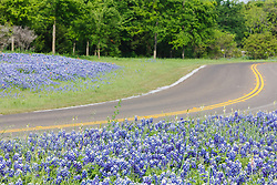 Bluebonnets and winding road, Cedar Hill State Park, Texas, USA.