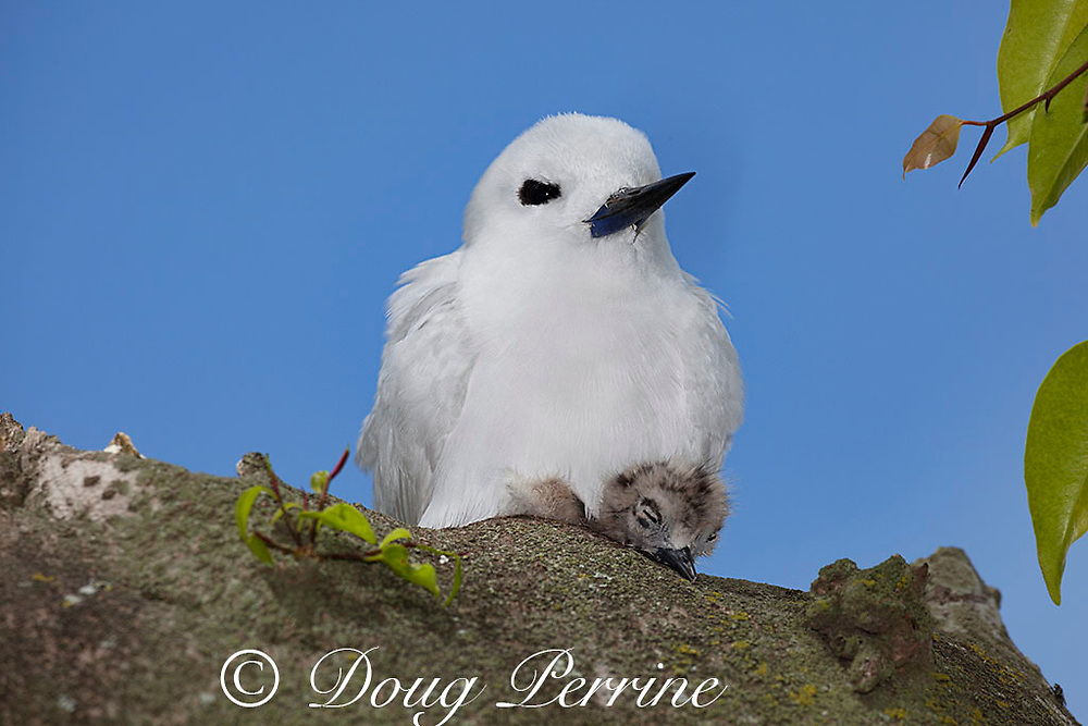 white tern or fairy tern, Gygis alba rothschildi, brooding chick, Sand Island, Midway, Atoll, Midway Atoll National Wildlife Refuge, Papahanaumokuakea Marine National Monument, Northwest Hawaiian Islands, USA ( Central North Pacific Ocean )