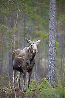 15.04.2009.Elk (Alces alces) in pine forest..Bergslagen, Sweden.