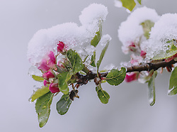 THEMENBILD - Neuschnee auf einer pinken Apfelblüte, aufgenommen am 05. Mai 2019, Kaprun, Österreich // Fresh snow on a pink apple blossom on 2019/05/05, Kaprun, Austria. EXPA Pictures © 2019, PhotoCredit: EXPA/ Stefanie Oberhauser
